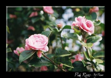 Pink Roses by Pezmc