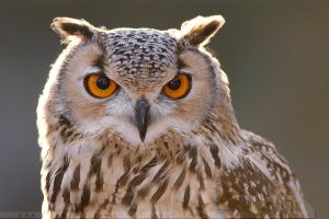 Bubo bubo by thrumyeye