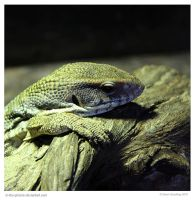 Baby Monitor Lizard by In-the-picture
