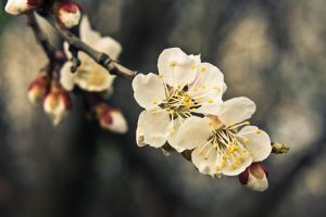 Apricot flower, Ukraine by daily-telegraph