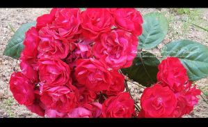 Red roses by Ellysiumn-GvE