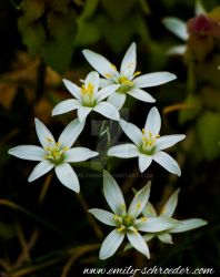 little white flowers by emily0690