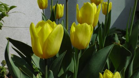 Yellow Tulips by dragonfire70