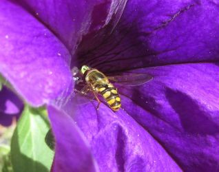 Hoverfly on petunia by Sia-the-Mawile