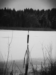 Cattails by crilleb50