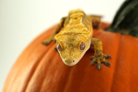 Crested Gecko 2 by IllusionTree