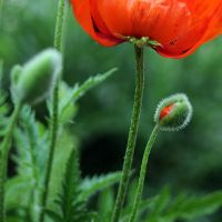 hello little poppie by MorkOrk