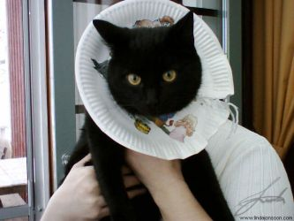 Spayed cat with plate teehee by chipset