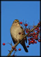 Golden Crowned Sparrow and Berries by Endaewen