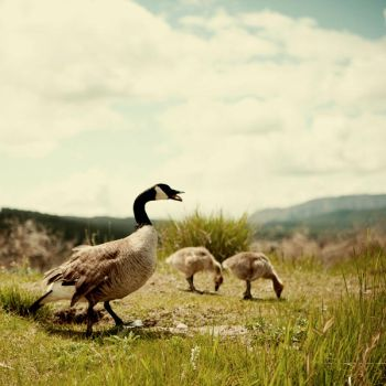 canadian geese by kissthewake