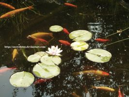 Lotus and Japanese Fishes by snowslotus