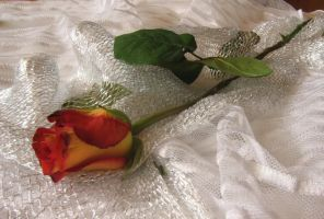 Rose_on_white_10 by Hermit-stock