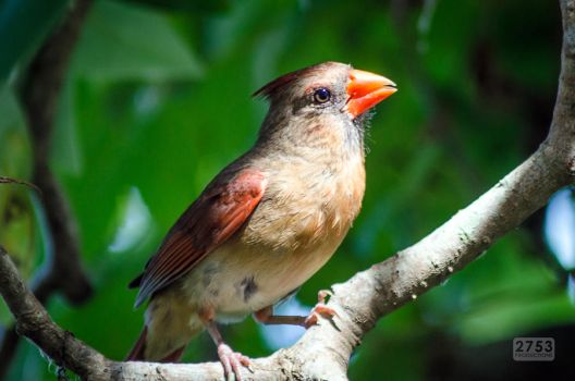 Female Northern Cardinal by 2753Productions
