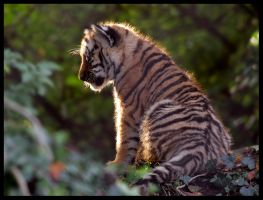 Siberian Tiger Cub Silhouette by Wolfy2k4