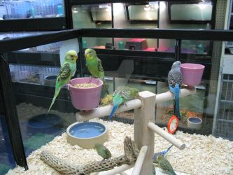 Parakeets by HakebeR
