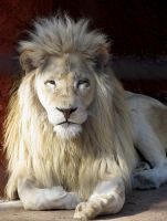White Lion Stock 1 by HOTNStock