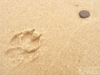 Paw Print in the Sand 2 by Turaiel