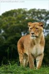 Lion 06 by Alannah-Hawker
