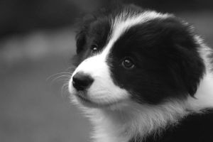 Jazmine - Border Collie by NeonSlice