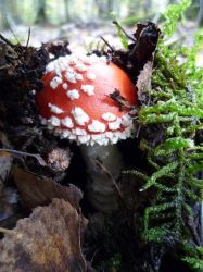 Fly Agaric Still Growing by larfiies