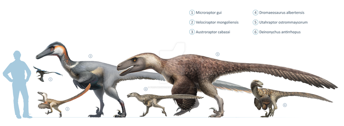 Dromaeosauridae size chart for Wikipedia by FredtheDinosaurman