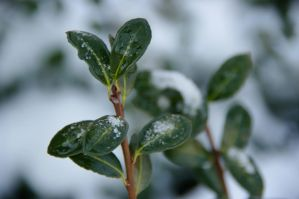Spring leaf with snow by numapompilius