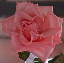 Pink Rose by SarcasticKitten7