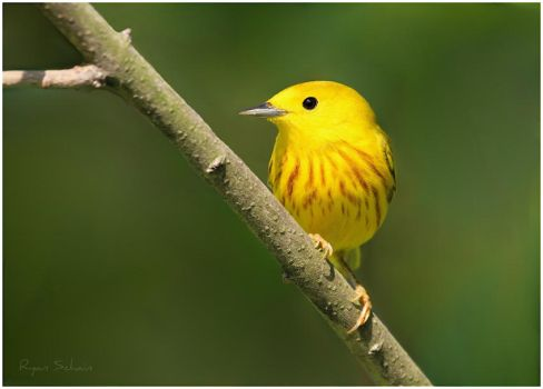 Yellow Warbler by Ryser915