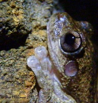 Peron's Tree Frog by BreeSpawn