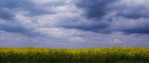 Golden Field by dianora