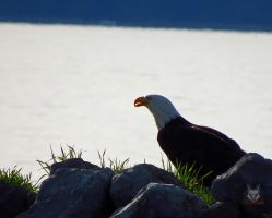 Eagle In Grasses And Rocks by wolfwings1