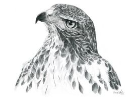 Red-Tailed Hawk Portrait by windfalcon