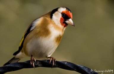 My first Goldfinch by Slinky-2012