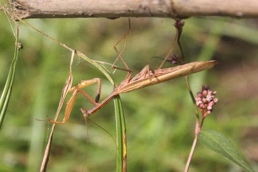 A mantis by Andre-anz