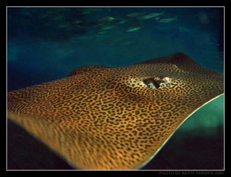 Leopard Ray by Keith-Killer