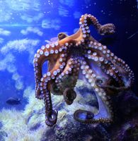 Octopus 01 by Pagan-Stock