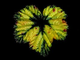 Cloudberry leaf by nordfold