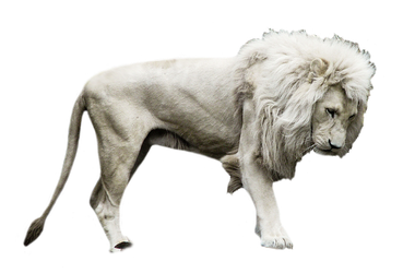 White Lion2 by rahag