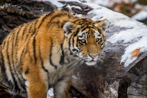 Tiger Too by nigel3