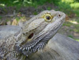 Bearded Dragon Close Up by Stone1980