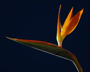 Scrapfile: Bird of Paradise by misteriddles