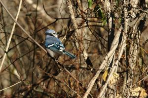 Cold morning Blue Jay by natureguy