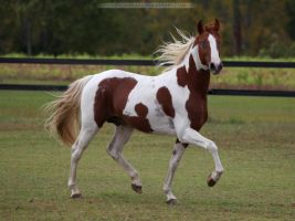 chestnut paint stallion 4 by venomxbaby