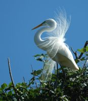 White Egret in Treetop by boanergesjr