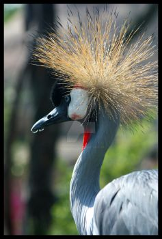 Grey Crowned Crane by BluuLightsaber