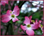 Pink Dogwoods by bewilderedconfused