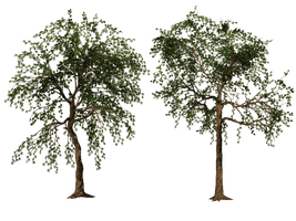 Trees 02 PNG Stock by Roy3D