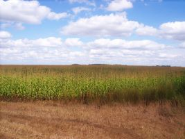 Corn Field Stock by MGB-Stock