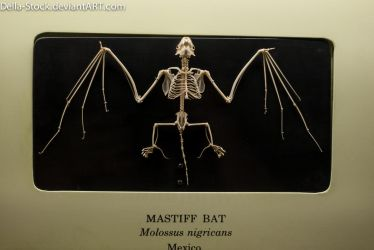Mastiff Bat Skeleton by Della-Stock