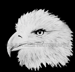 Bald Eagle Drawing by RNSteele-Photography